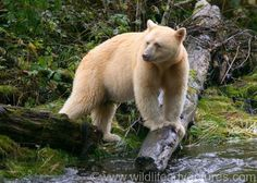 Neither albino nor polar bear, the spirit bear (also known as the Kermode bear) is a white variant of the North American black bear and is extremely rare (about 400-1000 in the wild)