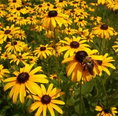 Tip: If Sunflowers are just too big for your garden, consider Black-Eyed Susans. Similar in color, compact, bees love the flowers and birds still enjoy the seeds.