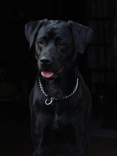 """shishi ~ black on black cropped,"" by Georgia Blue, via Flickr -- Love this dog's face!"