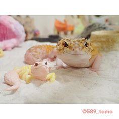 589_tomo シンクロ✨ #leopardgecko  #ヒョウモントカゲモドキ  #レオパードゲッコー  #爬虫類 #かわいい  #いやし  2017/10/10 22:36:24
