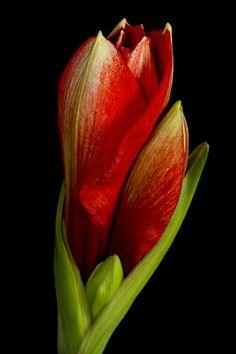 ~~ Orange Amaryllis Bloom ~~