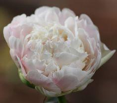 Luktpion Mothers Choice 1 st:  (Paeonia lactiflora)  Som ett moln av vispad grädde med en aning av smultronrosa blommar denna doftpion. Även fin till snitt. Trivs i sol till halvskugga. Har inga stora krav fast föredrar en näringsrik och väldränerad jord. Blommar i juni-juli. Kan odlas i hela landet, men utvecklas bäst i skyddat och väldränerat läge. Höjd ca 85 cm. 1 st.