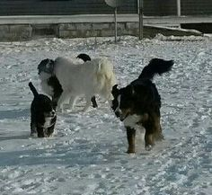 Bernese Mountain Dogs & Great Pyrenees