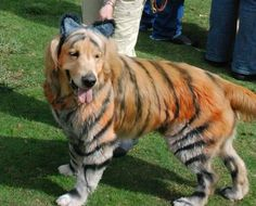 Golden Retriever painted as tiger for Halloween costume