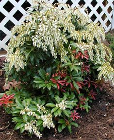 Pieris Mountain Fire for Sale - Brighter Blooms Nursery
