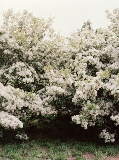 """I'm not sure what this is but it reminds me of the """"Bridal Wreath"""" plants that grew in my grandmother's yard. They made a beautiful hedge with each clump of what looked to be a tiny brides bouquet."""