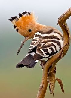 Hoopoe (Hop - Upupa epops - Hoopoe) - a colourful bird that is found across Afro-Eurasia, notable for its distinctive 'crown' of feathers. Kinds Of Birds, All Birds, Love Birds, Pretty Birds, Beautiful Birds, Animals Beautiful, Exotic Birds, Colorful Birds, Animals And Pets