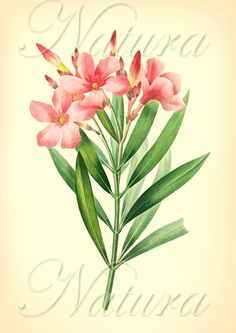 Classic redoute flower illustration