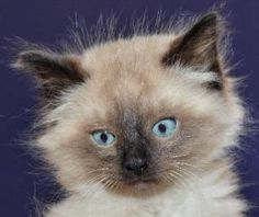 Mr. Big is an adoptable Domestic Medium Hair Cat in Shawnee, KS.  In order to encourage the adoption of our more 'experienced' cats and kittens, most cats and kittens bornON or BEFORE September 1st...