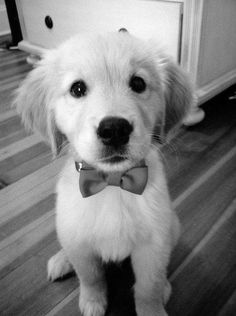 a sweet and dapper young golden pup