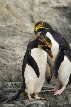Macaroni Penguins being all majestic and such