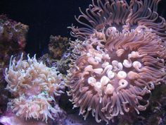 Anemone's at zoo