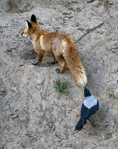 Fox and Magpie  Hmm! Look at that!