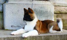 WOW Loyal Dog Breeds, Loyal Dogs, Japanese Akita, Japanese Dogs, Akita Puppies, Akita Dog, Animals And Pets, Cute Animals, American Akita