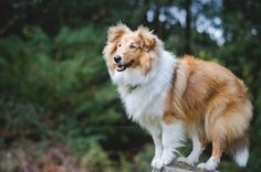 Rough Collie #Puppy #Dog
