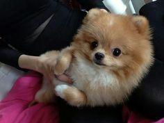 More On Blue Merle Pomeranian Fluffy Puppies, Cute Puppies, Cute Dogs, Dogs And Puppies, Doggies, Cute Funny Animals, Cute Baby Animals, Animals And Pets, Cute Pomeranian