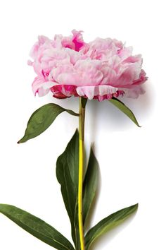 Our Favorite Types of Peonies - Southern Living