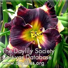 Daylily Rumble in the Jungle