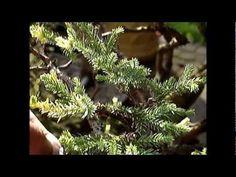 A ninety Year old bonsai San Jose Juniper tree Juniper Tree, San Jose, Year Old, Bonsai, Videos, One Year Old, Juniper Wood, Age, String Garden