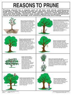 Reasons To Prune.jpg Reasons To Prune. Pruning Plants, Pruning Fruit Trees, Tree Pruning, Trees To Plant, How To Prune Trees, Fruit Garden, Garden Trees, Lawn And Garden, Garden Plants