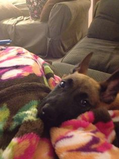You did it: you adopted a Maligator, also known as a destroying-machine-bursting-with-energy. And then this happened. Belgian Dog, Belgian Malinois Puppies, Belgian Shepherd, German Shepherds, Shepherd Dog, German Police Dog, Police Dogs, Pet Puppy, Dog Cat