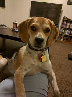 Little Miss Callie is 6 months old now! : beagle
