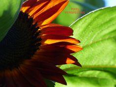 Indian Summer Sunflower  Backyard Zen Art  от PixelPerspective