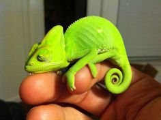 Sleeping Baby Chameleon - TheOnlineCentral.com