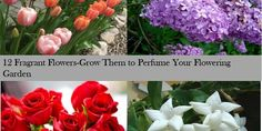 12FragrantFlowers-Grow Them to Perfume Your Flowering Garden – Home and Gardening Ideas-Home design, Decor,remodeling,improvement-Garden and outdoor Ideas