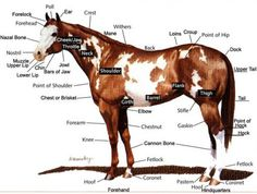 Horse diagram... need to memorize this so when you are an equine vet ;) To: Lashelle......Tia