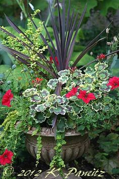Geraniums. Petunias. Cordyline. Annuals. Sun flowers. Container planting. Iron urn.
