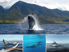 The first whale spotting in Hawaii for 2015!