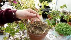 Cum se taie muscata corect pentru o inflorire bogata - INGRIJIREA FLORILOR Flowers, Gardens, Interior, Farm Gate, Plant, Indoor, Outdoor Gardens, Interiors, Royal Icing Flowers