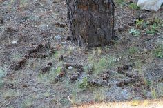 Pinus Spelled with Pinecones, Lake Wenatchee WA