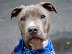 TO BE DESTROYED - WED. 09/17/14 Manhattan Center **PUPPY ALERT**  ROCKY - A1013025  *** AVERAGE HOME ***  MALE, GRAY / WHITE, PIT BULL MIX, 9 mos OWNER SUR - EVALUATE, NO HOLD Reason NEW BABY  Intake condition EXAM REQ Intake Date 09/05/2014, From NY 10469, DueOut Date 09/05/2014,