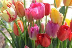 Tulips #AmericanGrown #OriginMatters