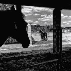 Siete días siete fotos en blanco y negro de tu vida diaria. 1 of 7. Por invitación de mi amada @dscndientdkain  #flickr #monochrome #bnw #horses #sightoflove