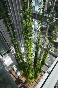 Vertical indoor garden sculptures by Ronstan Tensile Architecture at the Brisbane Supreme Law Courts in Australia. Green growth approximately three-quarters of the way grown up the 20 meter vertical span after only just 2 years.