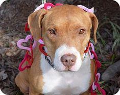 Pit Bull Terrier Mix Dog for adoption in Dallas, Georgia - CB