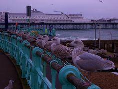Seagulls in Brighton