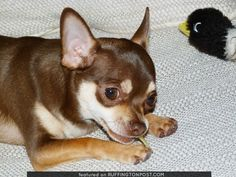 Chihuahua Treats - http://www.ruffingtonpost.com/chihuahua-treats/