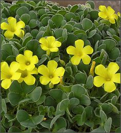 Oxalis Ken Aslet - Yellow blooming shamrock - so cheery!  A Hard-to-find variety prized for its leaves as well as its sunny blooms! Very limited this season