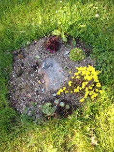 Tähä tulee kivikko puutarhaa,keltamaksaruoho, partamehitähti...