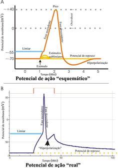 A acetilcolina aumenta a permeabilidade das membranas aos íons K+, isto é, o efluxo de cargas positivas gera uma negatividade intracelular hiperpolarizando a célula. Isso diminui o potencial de repouso e aumenta o limiar de excitação dificultando a deflagração do potencial de ação.