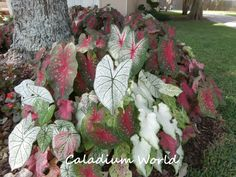 Kyle R from Baton Rouge, LA with a mix of caladiums large & small.