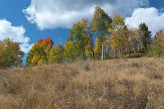 'Colorado Autumn Meadow with Aspen', a fine art landscape photograph by Lynn Cyrus / Cascade Colors. I found this scene beautiful in its relative simplicity, with the warm-colored grasses filling the meadow in the foreground, and the bright blue sky with puffy clouds above. A line of rainbow-colored aspen trees, in varying hues of color, provides the perfect finishing touch to this piece. This was taken within the White River National Forest, on the edge of Silverthorne, in the Colorado…