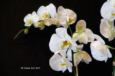 Orchidea .