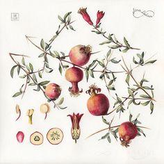 Watercolor botanical illustration. Pomegranates || #limkina #limkina_art || Гранаты ✔️