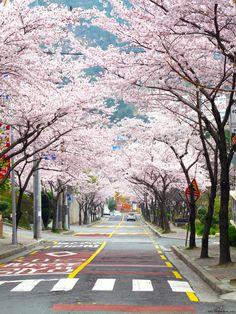 Cherry blossoms on Yeong-Do, Busan, Korea   by Ken Eckert