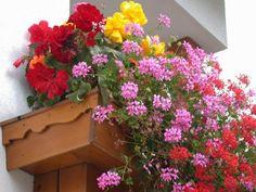 Gerani colorati piante da balcone